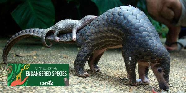 Save the Pangolin, the Most Trafficked Animal in the World!
