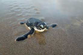 SAVE THE BABY TURTLES