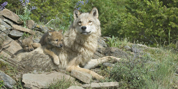 Keep Gray Wolves Protected Under the Endangered Species Act