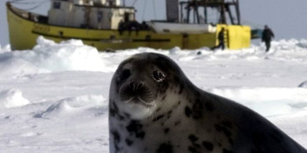 Canada! Stop the Mass Seal Slaughter Now.